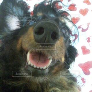 近くに犬のアップの写真・画像素材[1184727]