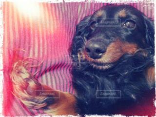ベッドの上で横になっている黒犬の写真・画像素材[1184732]