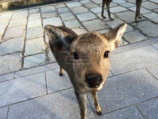 歩道に立っている鹿の写真・画像素材[1196008]