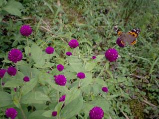 近くに紫の花のアップの写真・画像素材[1232664]