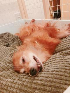 ベッドの上で横になっている茶色と白犬の写真・画像素材[1621523]