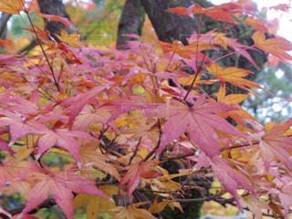 木にピンクの花のグループの写真・画像素材[1622832]