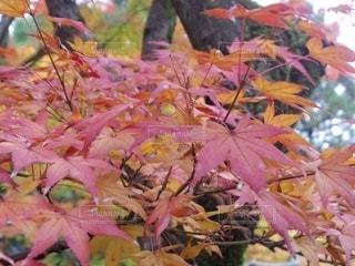 木の上のピンクの花の群しの写真・画像素材[2510671]