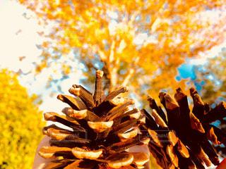 秋、松ぼっくり。の写真・画像素材[887896]