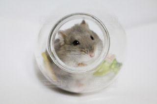 ガラスのボウルで小さな齧歯動物の写真・画像素材[985558]