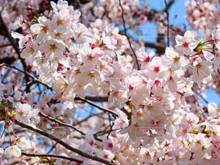 桜の写真・画像素材[1989498]