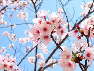 桜の写真・画像素材[1989587]