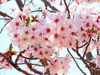 桜の写真・画像素材[1989601]