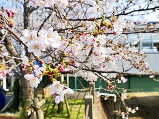 桜の写真・画像素材[1996840]