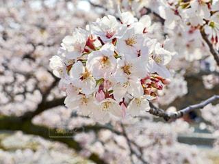 桜の写真・画像素材[1996865]