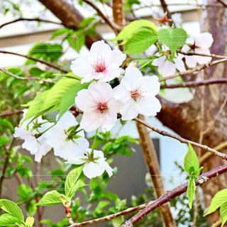 桜の写真・画像素材[2010616]