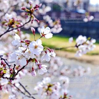 桜の写真・画像素材[2016907]