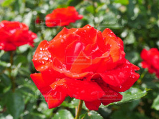 薔薇の写真・画像素材[2140614]