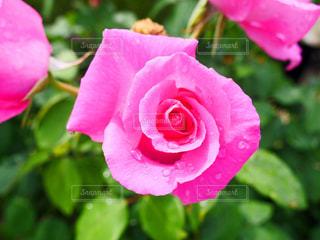 薔薇の写真・画像素材[2140622]