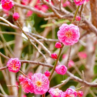梅の花の写真・画像素材[3015441]