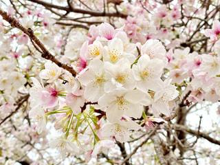 桜の写真・画像素材[3063244]
