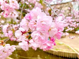 桜の写真・画像素材[3063250]