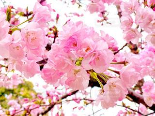 桜の写真・画像素材[3063302]
