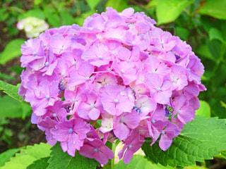 紫陽花の写真・画像素材[3374452]