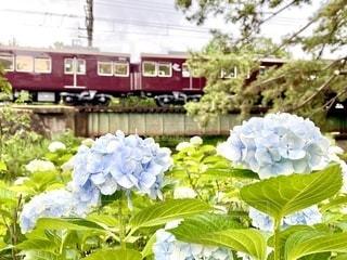 紫陽花と阪急電車の写真・画像素材[3374495]