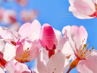 桜の写真・画像素材[4262879]