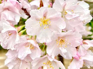 桜の写真・画像素材[4268051]
