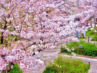 夙川公園の桜の写真・画像素材[4305472]