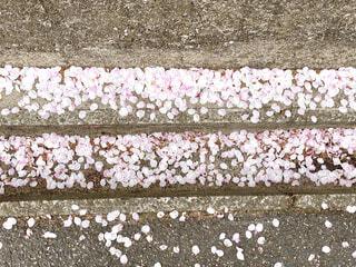 桜の花びらの写真・画像素材[4318566]
