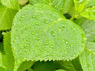 紫陽花の葉の写真・画像素材[4425381]