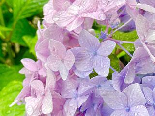 2色の紫陽花の写真・画像素材[4507192]