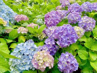 紫陽花の写真・画像素材[4508908]