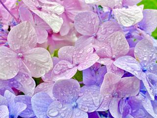 2色の紫陽花の写真・画像素材[4555957]