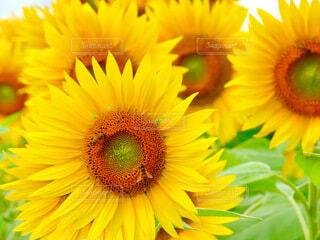 向日葵と蜜蜂の写真・画像素材[4657056]