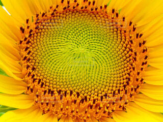 向日葵のクローズアップの写真・画像素材[4684155]