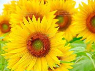 向日葵と蜜蜂の写真・画像素材[4684234]