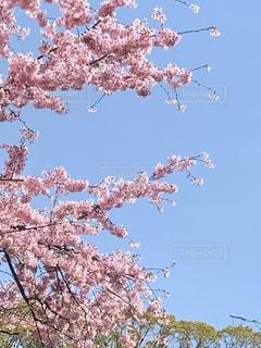 春,桜の花,さくら