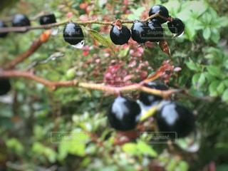 黒い実と雨の雫。の写真・画像素材[820121]