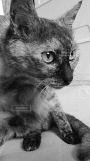 見つめる猫の写真・画像素材[832326]