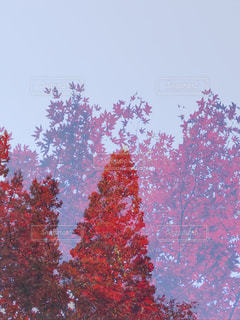 紅色紅葉の写真・画像素材[844595]