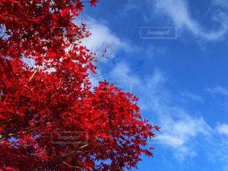 紅もみじと空の写真・画像素材[1620475]