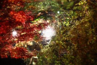 森の中のクリスマス ツリーの写真・画像素材[865998]