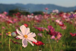 花,コスモス