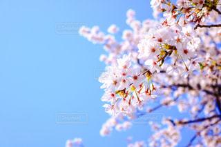 桜,青空,目黒川,さくら,花絶景