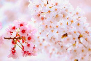 桜,六本木,さくら,毛利庭園,花絶景