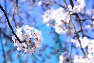 桜,目黒川,さくら,花絶景