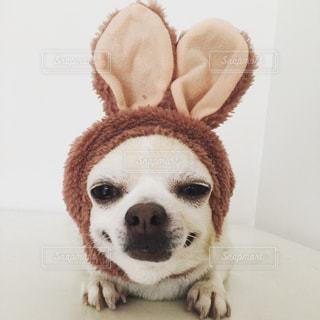 カメラを見て、小さな茶色と白犬 - No.982444