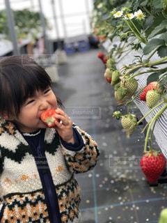 屋内,女の子,いちご,苺,フルーツ,果物,ハウス,可愛い,果実,幼児,女児,ストロベリー,娘,イチゴ,イチゴ狩り,用事