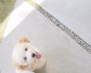 小さな白い犬の写真・画像素材[1186106]
