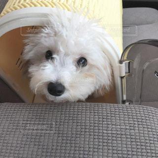 椅子に座っている小さな白い犬 - No.1186552