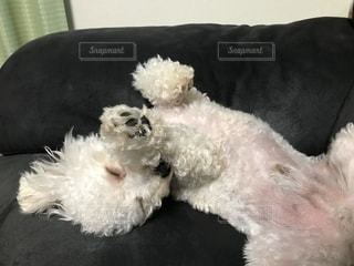 ソファで横になっている茶色と白犬の写真・画像素材[1628682]